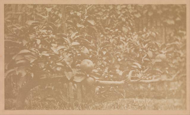 [Apple Tree Branch]
