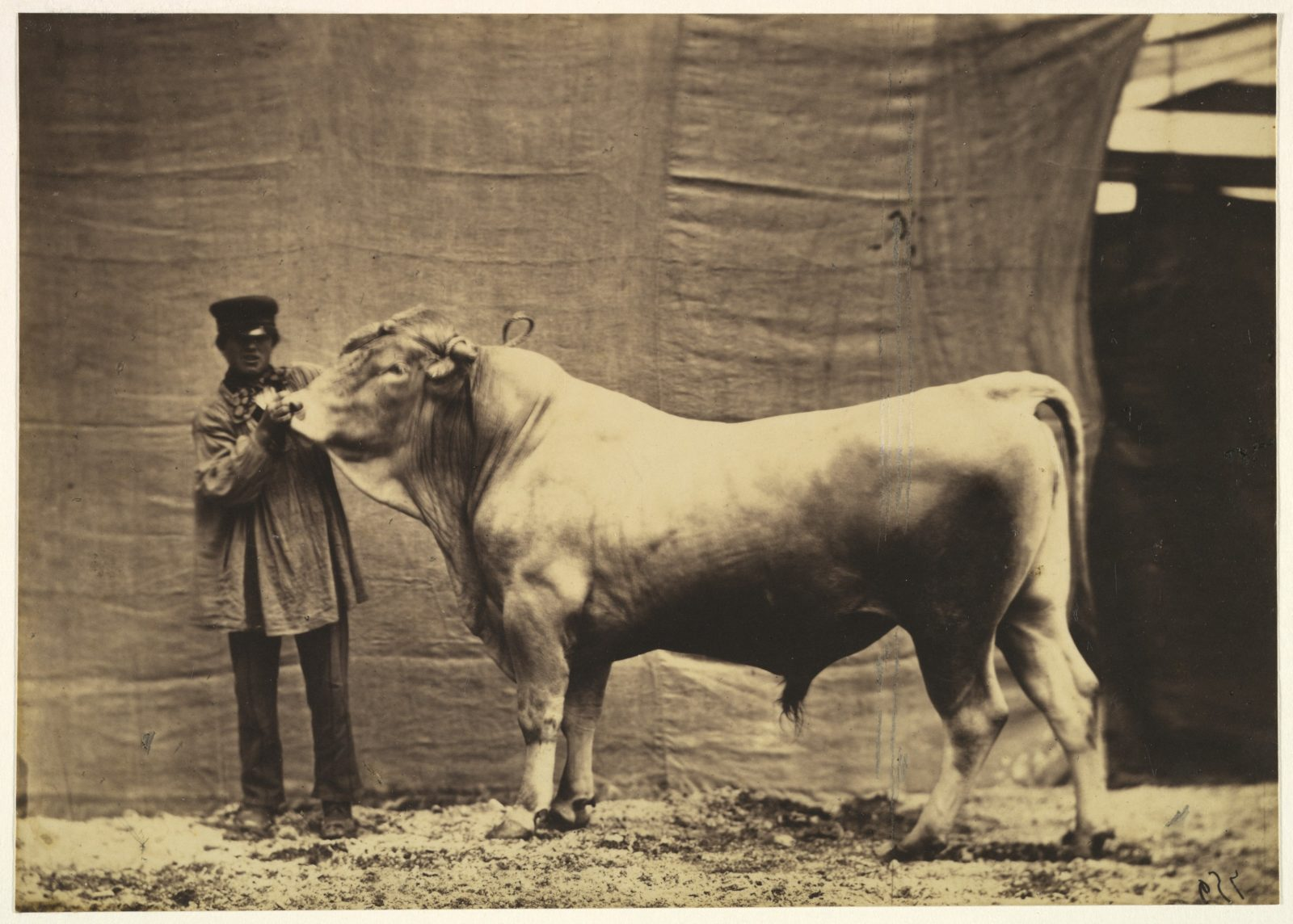 [Bull from Glane, Canton of Fribourg]