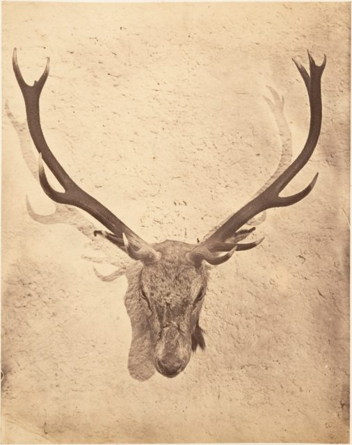 [Stag Trophy Head Killed by Ned Ross]