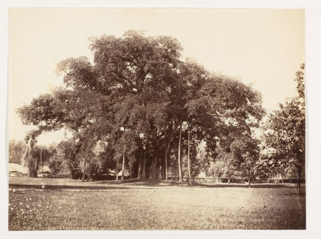 [Banian Tree in Commissioner Grote's Garden, Alipoor, Calcutta]