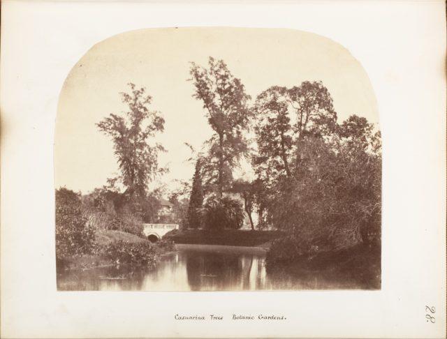 [Casuarina Trees, Botanic Gardens, Calcutta]