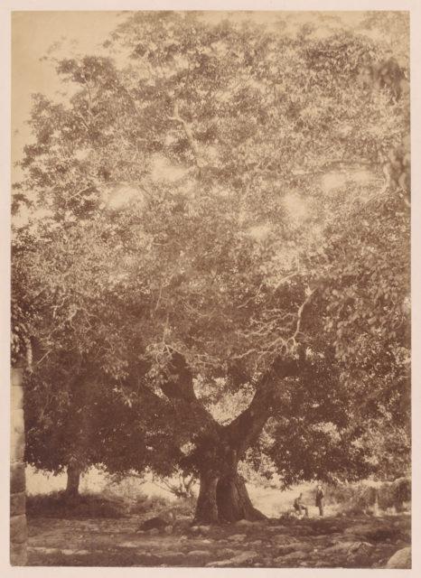 The Walnut Tree of Emperor Charles V, Yuste