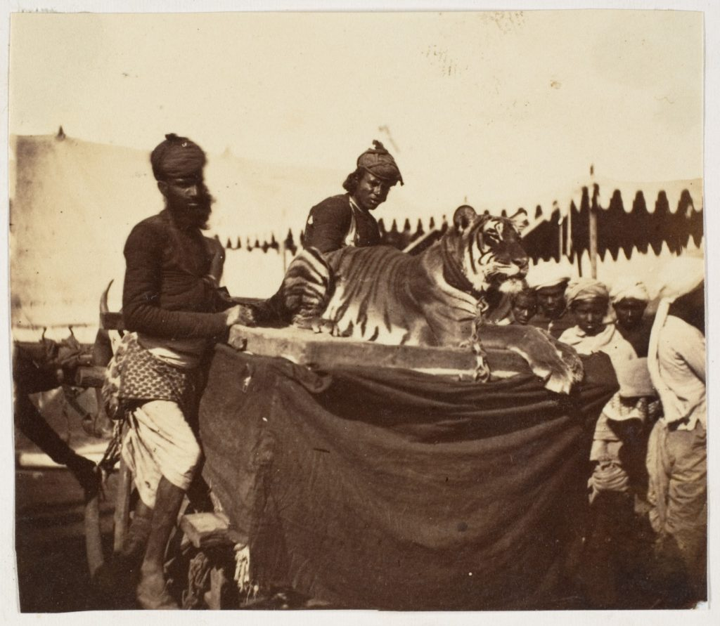 [Tigers Presented to the Countess Canning at Agra]