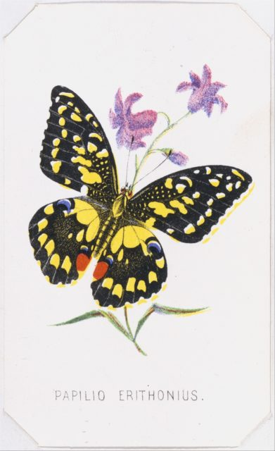 Papilio Erithonius from The Butterflies and Moths of America Part 1
