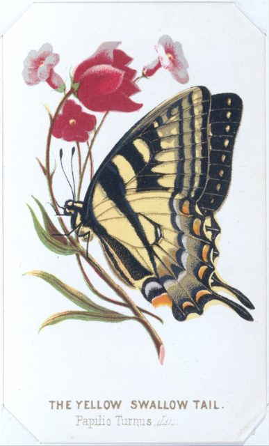 The Yellow Swallowtail from The Butterflies and Moths of America Part 2