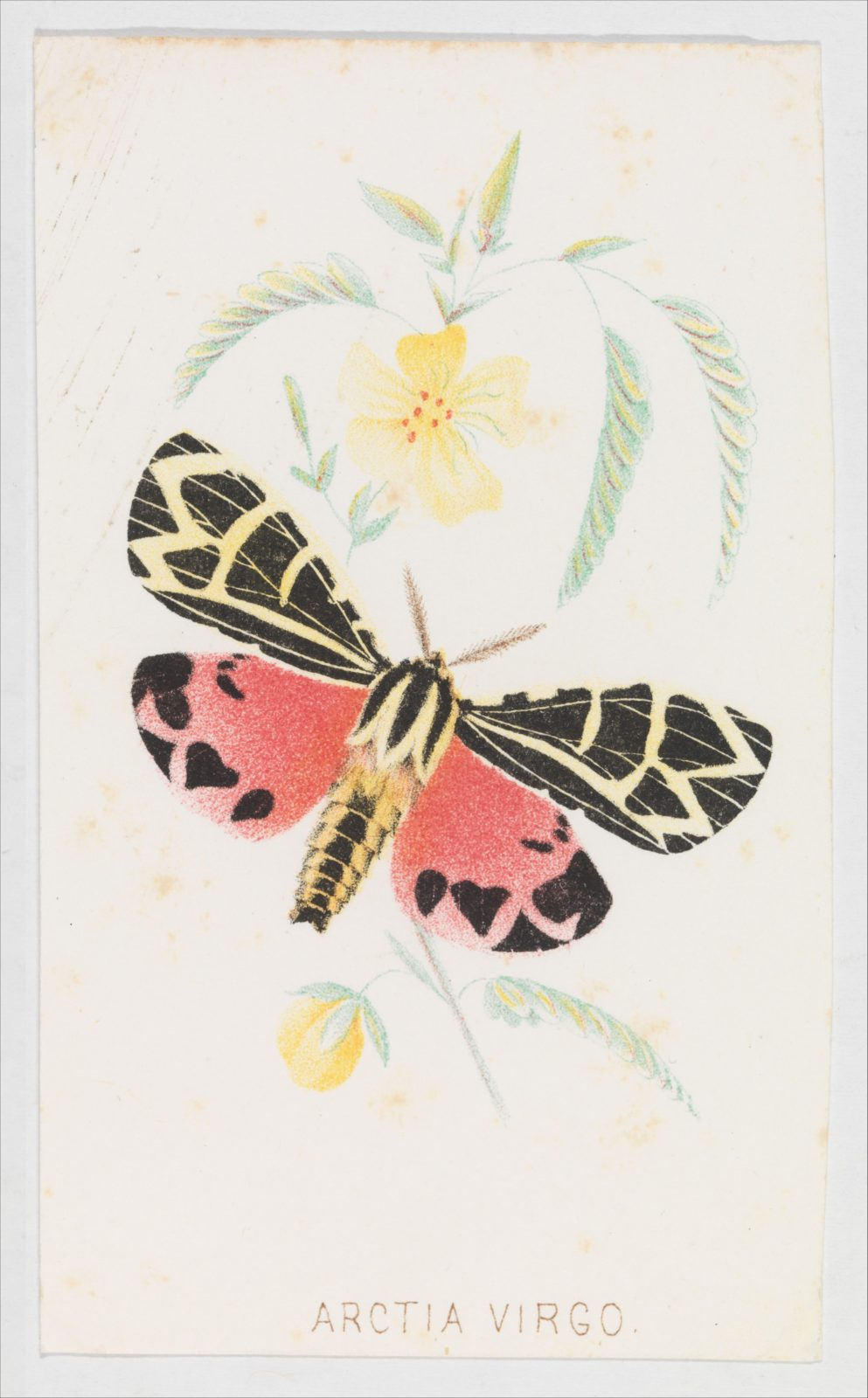 Arctia Virgo from The Butterflies and Moths of America Part 5