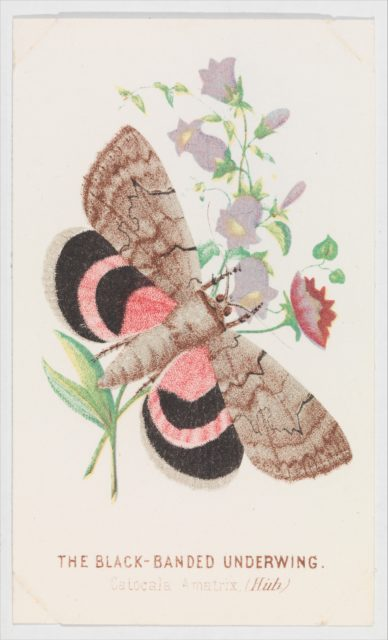 The Black-Banded Underwing from The Butterflies and Moths of America Part 2