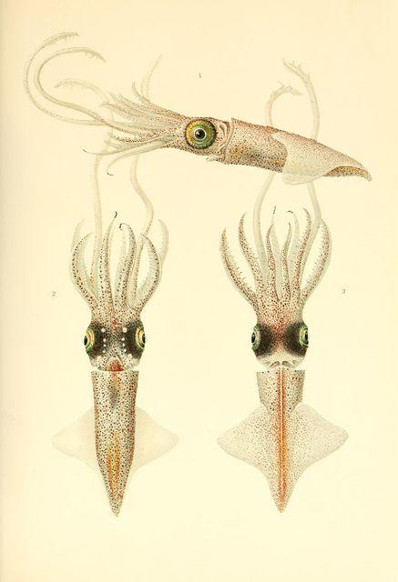 Abraliopsis morisii (mature female)
