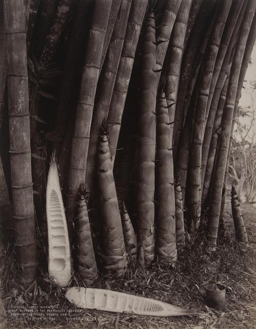 Giant Bamboos in the Peradeniya Gardens
