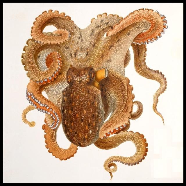 Octopus vulgaris Lam.