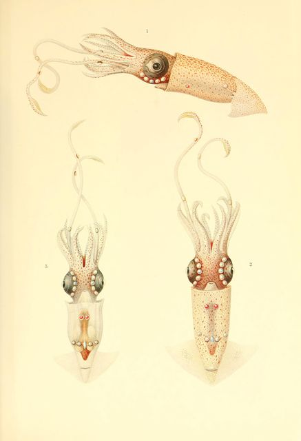 Thaumatolampas diadema (from Benguela current, South Africa)