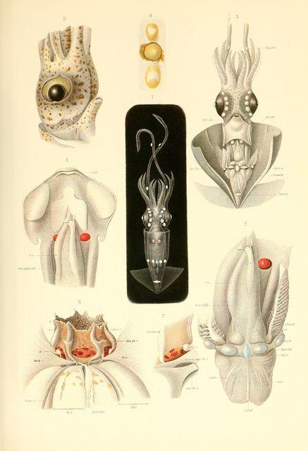 Thaumatolampas diadema (head, funnel, mantle, eye dissected views)