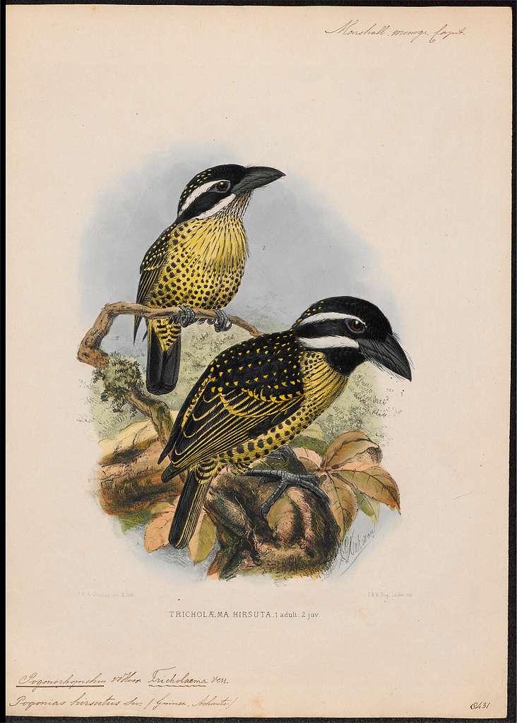 Pogonorhynchus hirsutus - 1870-1871 - Print - Iconographia Zoologica - Special Collections University of Amsterdam - UBA01 IZ18800021