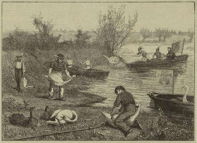 Life on the upper Thames - swan-upping (1875)