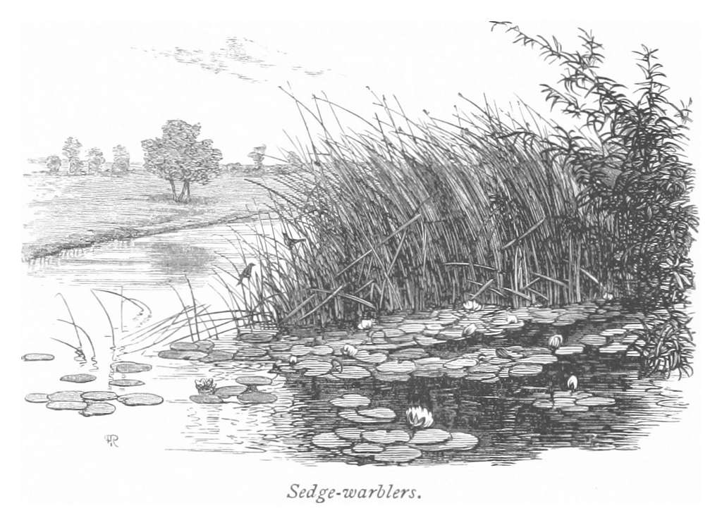 RO(1875) P116 SEDGE-WARBLERS