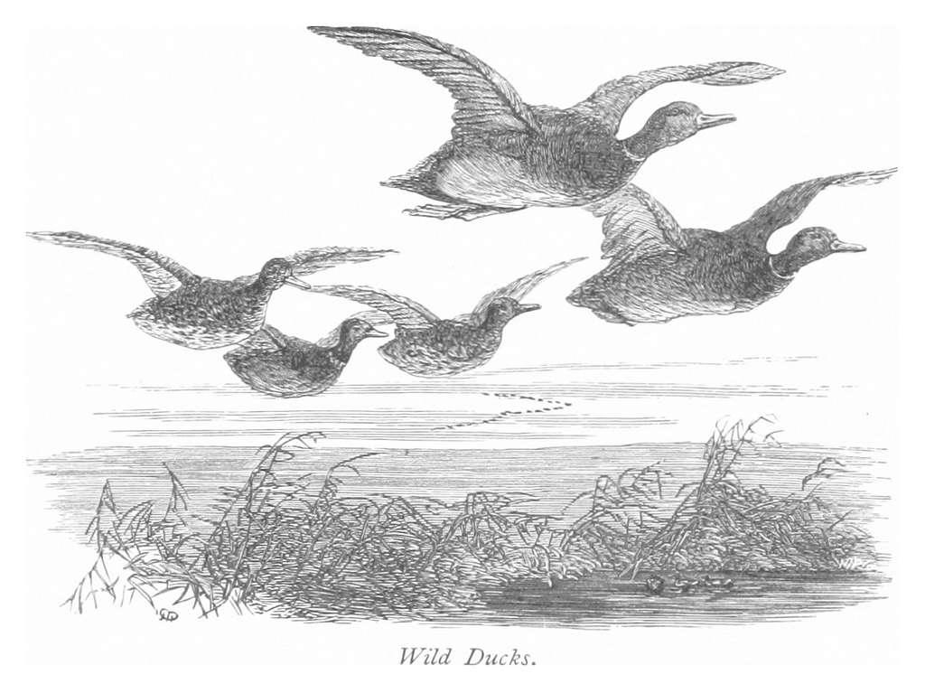 RO(1875) P208 WILD DUCKS