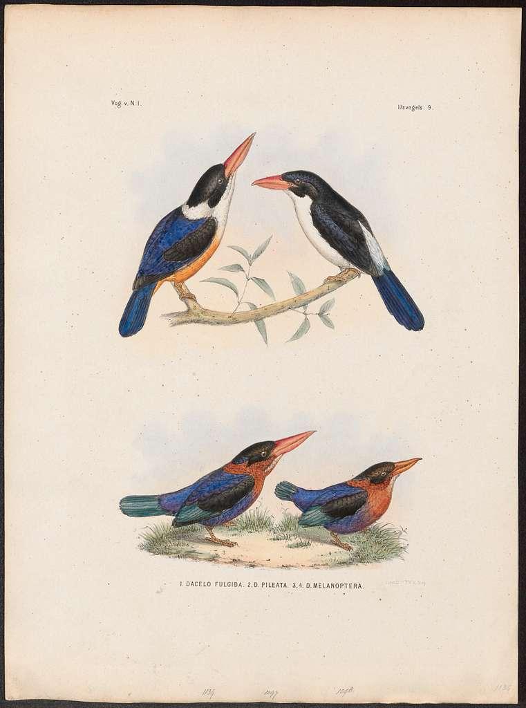 Halcyon pileata - 1863-1876 - Print - Iconographia Zoologica - Special Collections University of Amsterdam - UBA01 IZ16800079