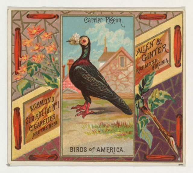 Carrier Pigeon, from the Birds of America series (N37) for Allen & Ginter Cigarettes