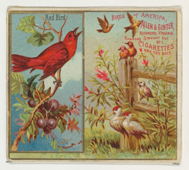 Red Bird, from the Birds of America series (N37) for Allen & Ginter Cigarettes