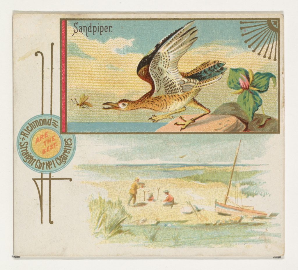 Sandpiper, from the Game Birds series (N40) for Allen & Ginter Cigarettes