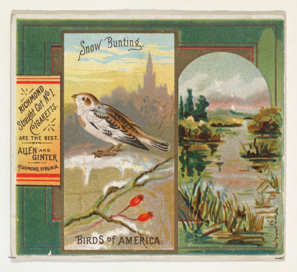 Snow Bunting, from the Birds of America series (N37) for Allen & Ginter Cigarettes