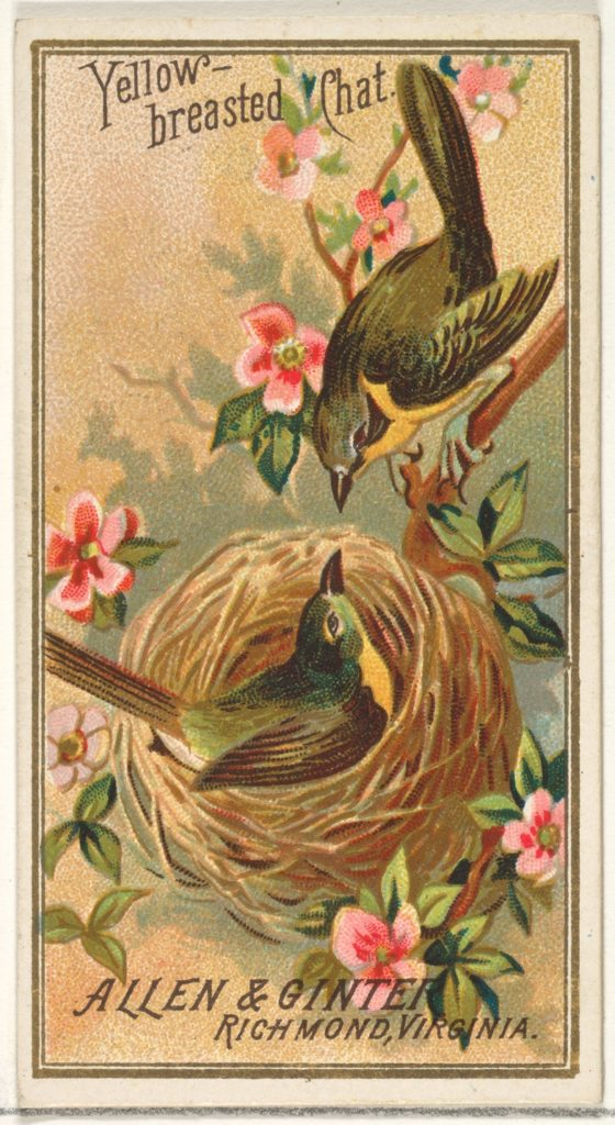Yellow-breasted Chat, from the Birds of America series (N4) for Allen & Ginter Cigarettes Brands