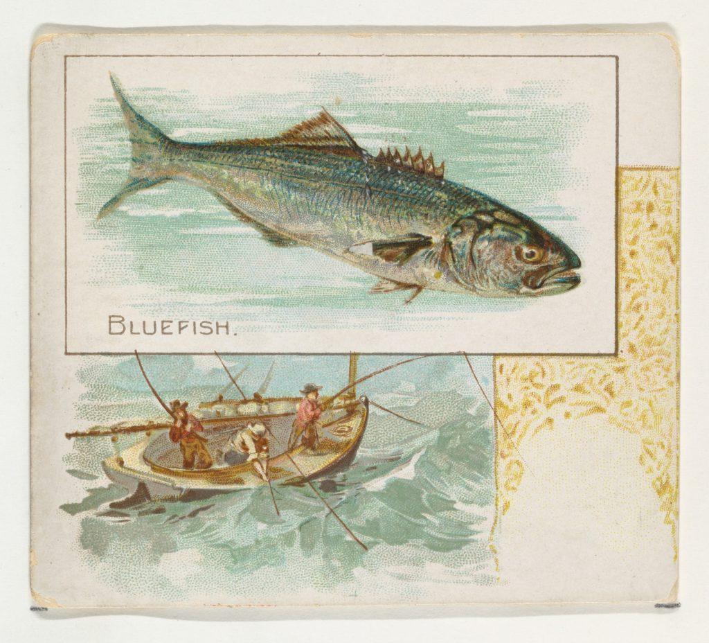 Bluefish, from Fish from American Waters series (N39) for Allen & Ginter Cigarettes