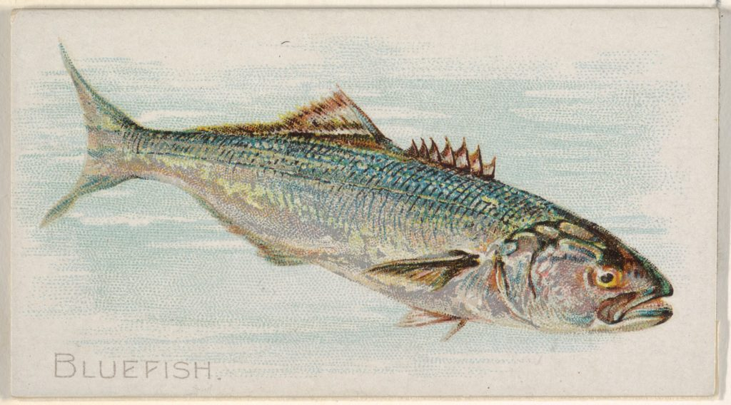 Bluefish, from the Fish from American Waters series (N8) for Allen & Ginter Cigarettes Brands