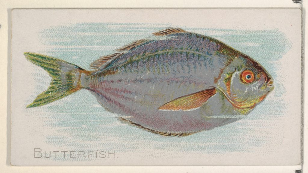 Butterfish, from the Fish from American Waters series (N8) for Allen & Ginter Cigarettes Brands