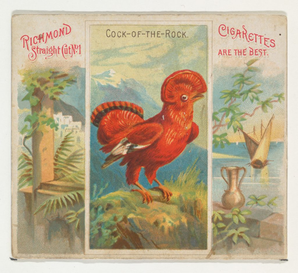 Cock-of-the-Rock, from Birds of the Tropics series (N38) for Allen & Ginter Cigarettes
