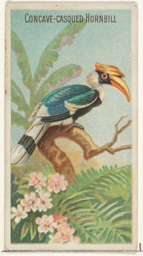 Concave-Casqued Hornbill, from the Birds of the Tropics series (N5) for Allen & Ginter Cigarettes Brands