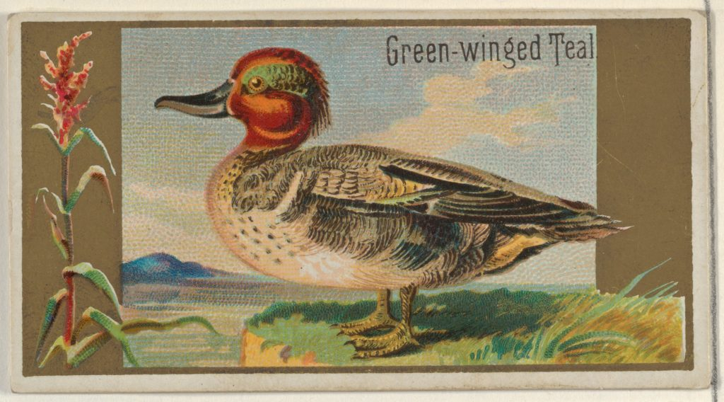 Green-winged Teal, from the Game Birds series (N13) for Allen & Ginter Cigarettes Brands