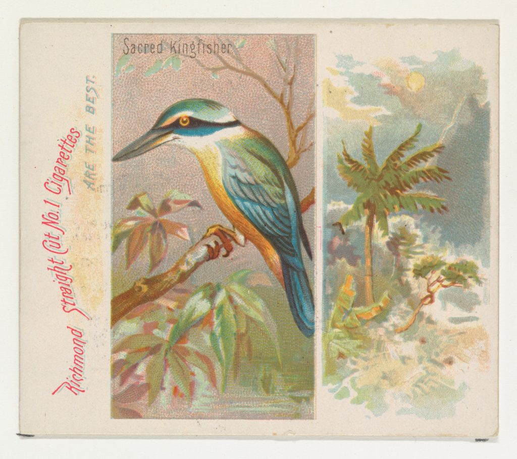 Sacred Kingfisher, from Birds of the Tropics series (N38) for Allen & Ginter Cigarettes