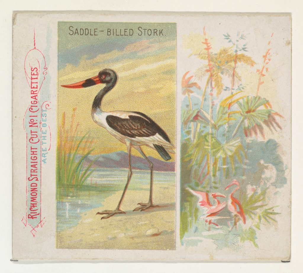Saddle-Billed Stork, from Birds of the Tropics series (N38) for Allen & Ginter Cigarettes