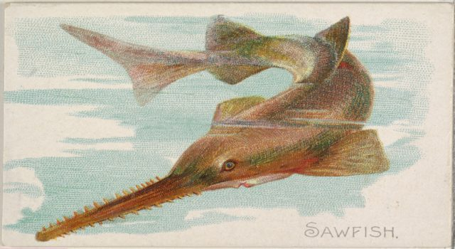 Sawfish, from the Fish from American Waters series (N8) for Allen & Ginter Cigarettes Brands