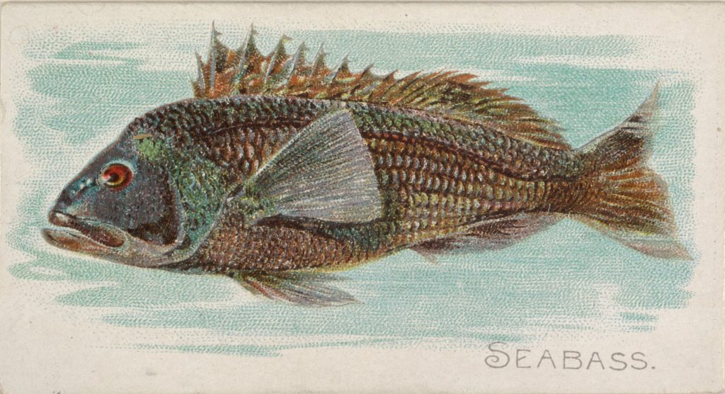 Sea Bass, from the Fish from American Waters series (N8) for Allen & Ginter Cigarettes Brands