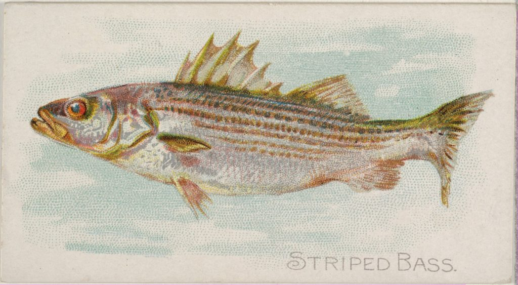 Striped Bass, from the Fish from American Waters series (N8) for Allen & Ginter Cigarettes Brands