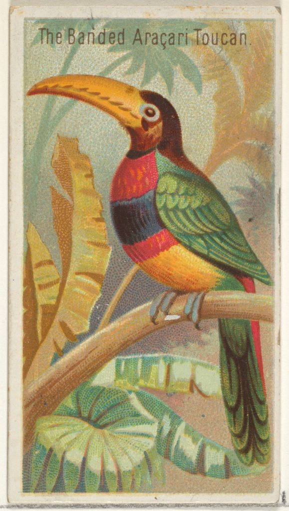 The Banded Aracari Toucan, from the Birds of the Tropics series (N5) for Allen & Ginter Cigarettes Brands