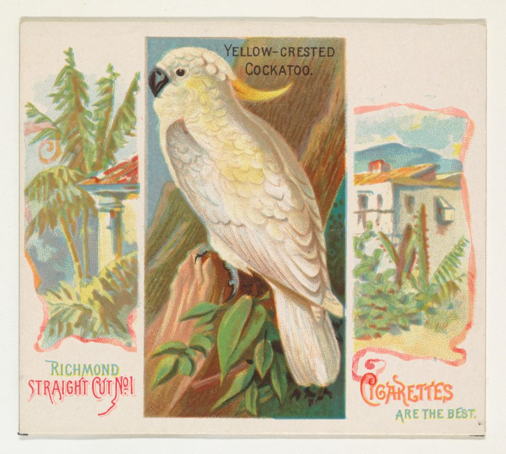 Yellow-Crested Cockatoo, from Birds of the Tropics series (N38) for Allen & Ginter Cigarettes