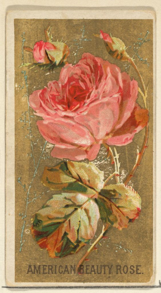 American Beauty Rose, from the Flowers series for Old Judge Cigarettes
