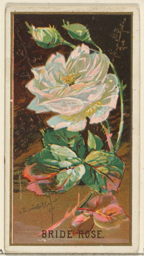 Bride Rose, from the Flowers series for Old Judge Cigarettes