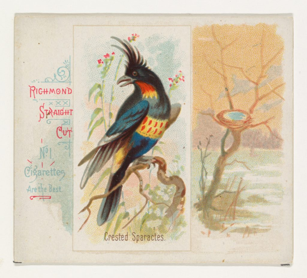 Crested Sparactes, from the Song Birds of the World series (N42) for Allen & Ginter Cigarettes