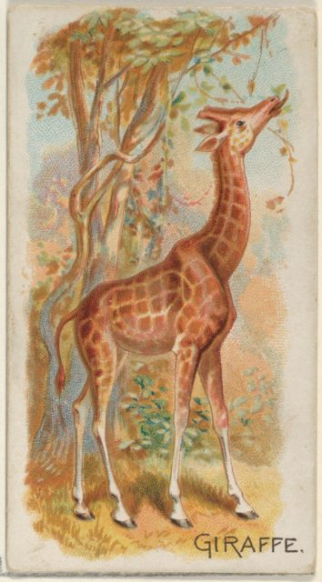 Giraffe, from the Quadrupeds series (N21) for Allen & Ginter Cigarettes