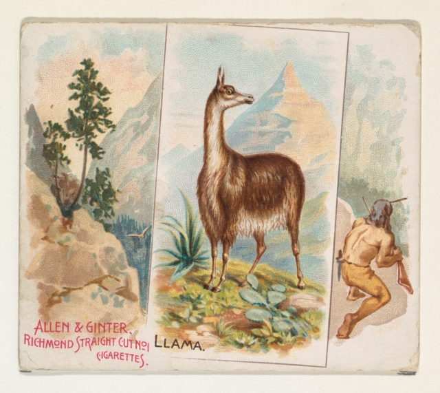 Llama, from Quadrupeds series (N41) for Allen & Ginter Cigarettes