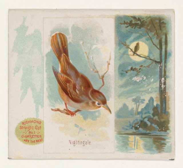 Nightingale, from the Song Birds of the World series (N42) for Allen & Ginter Cigarettes