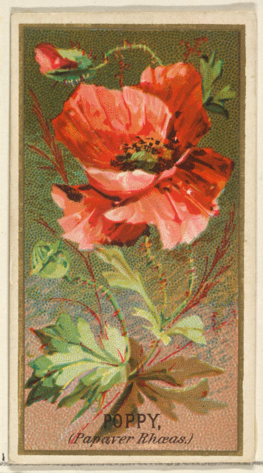 Poppy Papaver Rhoeas From The Flowers Series For Old Judge