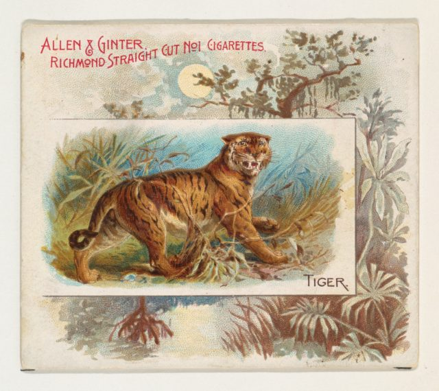 Tiger, from Quadrupeds series (N41) for Allen & Ginter Cigarettes