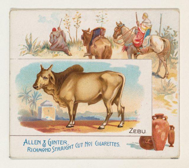Zebu, from Quadrupeds series (N41) for Allen & Ginter Cigarettes