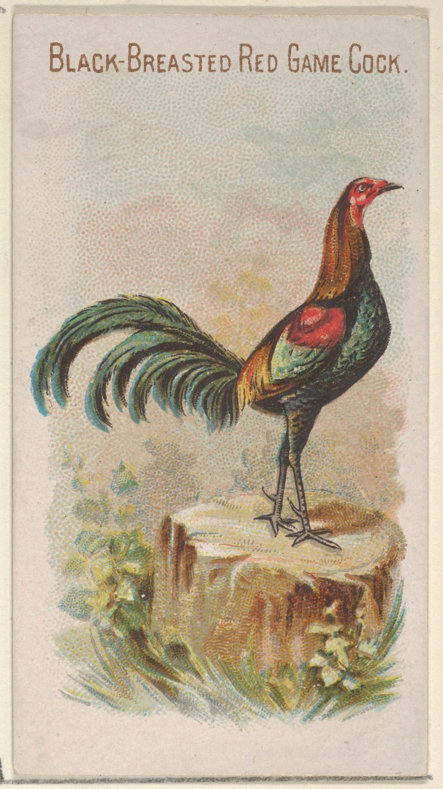 Black-Breasted Red Game Cock, from the Prize and Game Chickens series (N20) for Allen & Ginter Cigarettes
