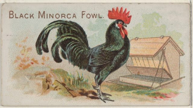 Black Minorca Fowl, from the Prize and Game Chickens series (N20) for Allen & Ginter Cigarettes